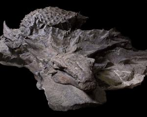 See the exquisite fossil that revealed the colors of a giant armored nodosaur