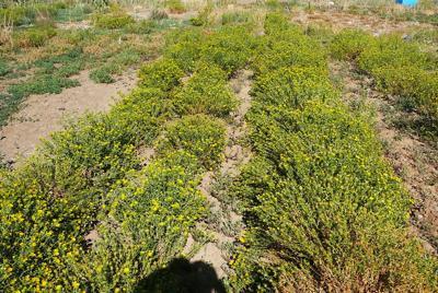 Biofuel Gumweed