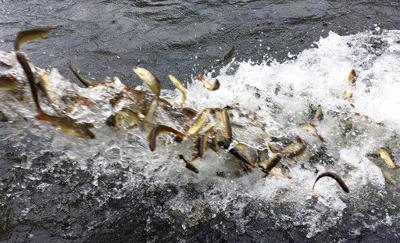 Truckloads of baby fish hauled to river in restoration plan