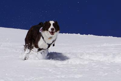 Avalanche Rescue Dog