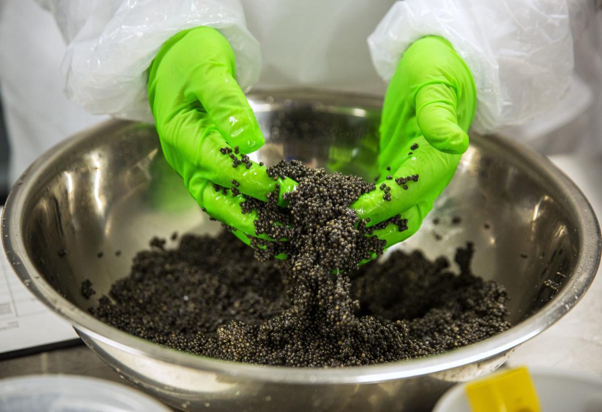 Caviar processing