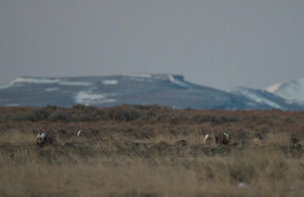 Magic Valley sage grouse