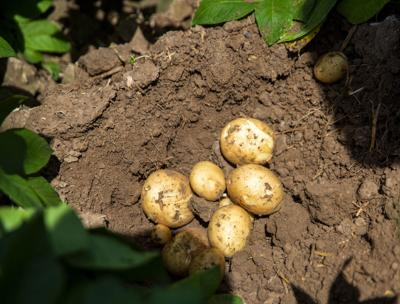 Potato prices (copy)