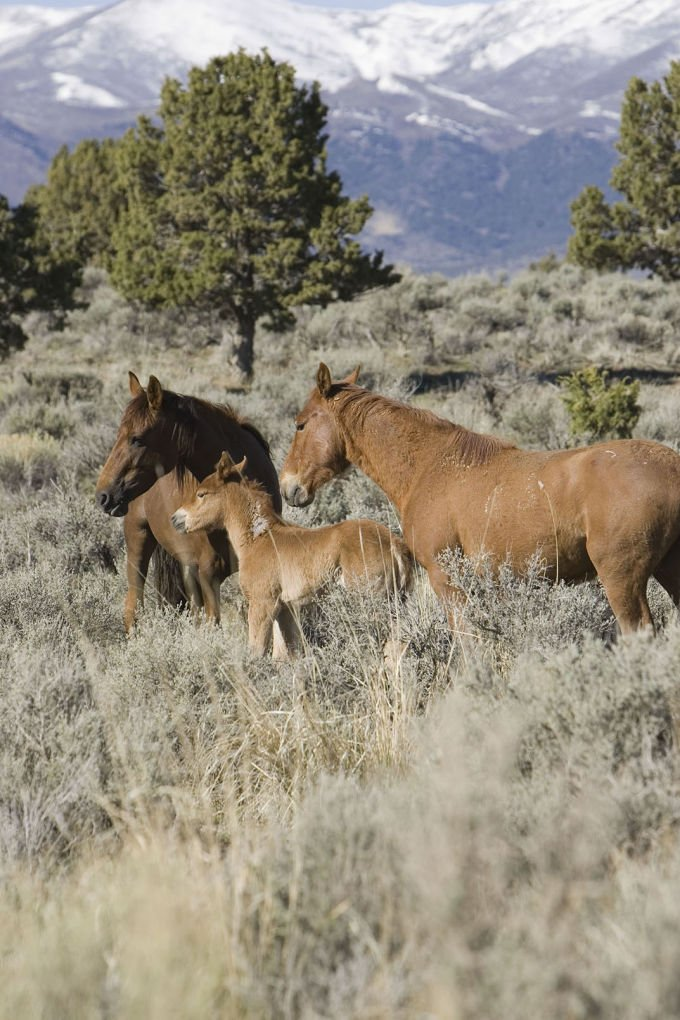 BLM Holds Off on Plan to Return 186 Mustangs to Range in NV