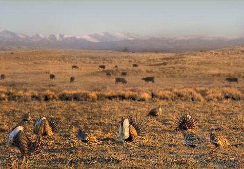 Sage Grouse in the West