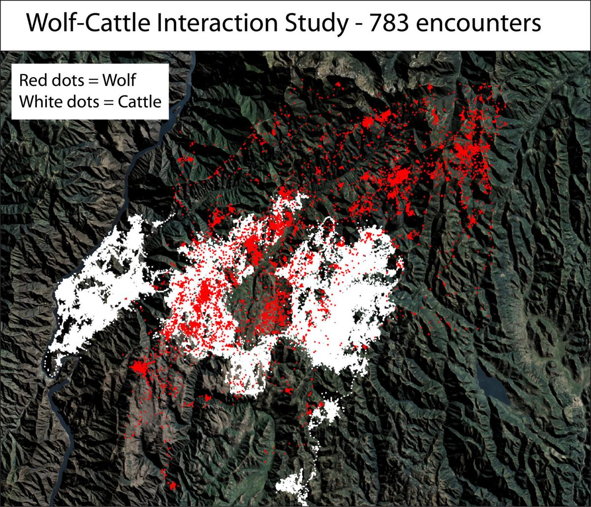 Wolf-cattle interaction study