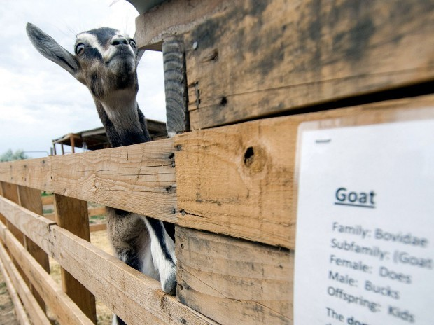 Gallery: We've Got Your Goats | Southern Idaho Local News
