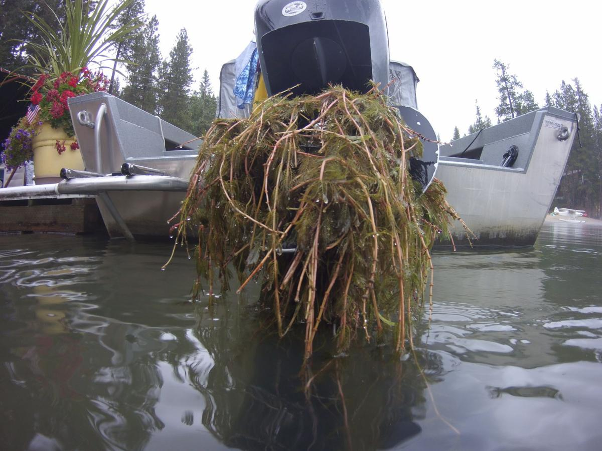 Eurasian Watermilfoil (EWM) in Hayden Lake