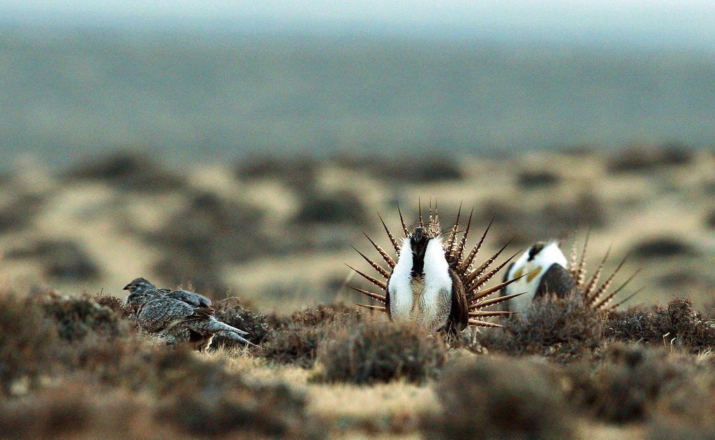 Sage Grouse DNA Study