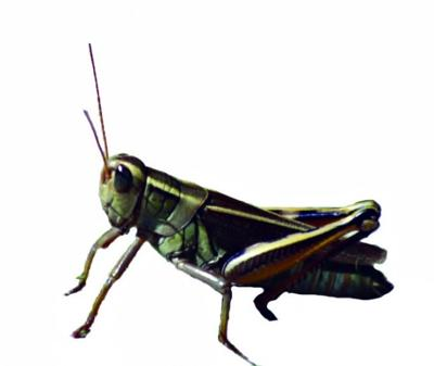 Grasshoppers Take Bite Out Of Alfalfa Southern Idaho Agriculture