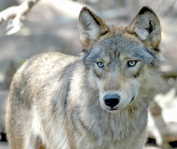 Conflicts Rise Between Idaho Ranchers, Gray Wolves