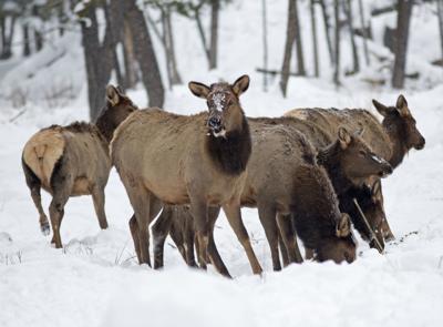 Elk feeding site