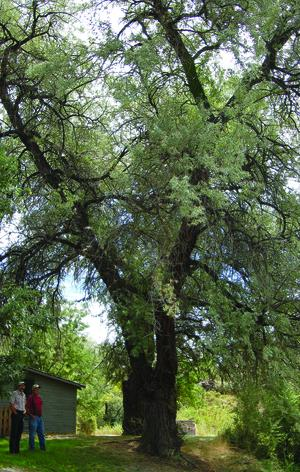 The biggest Russian olive? | Home and Garden | magicvalley.com