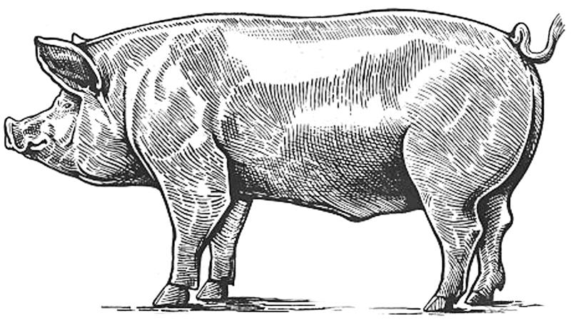 Pig sketch