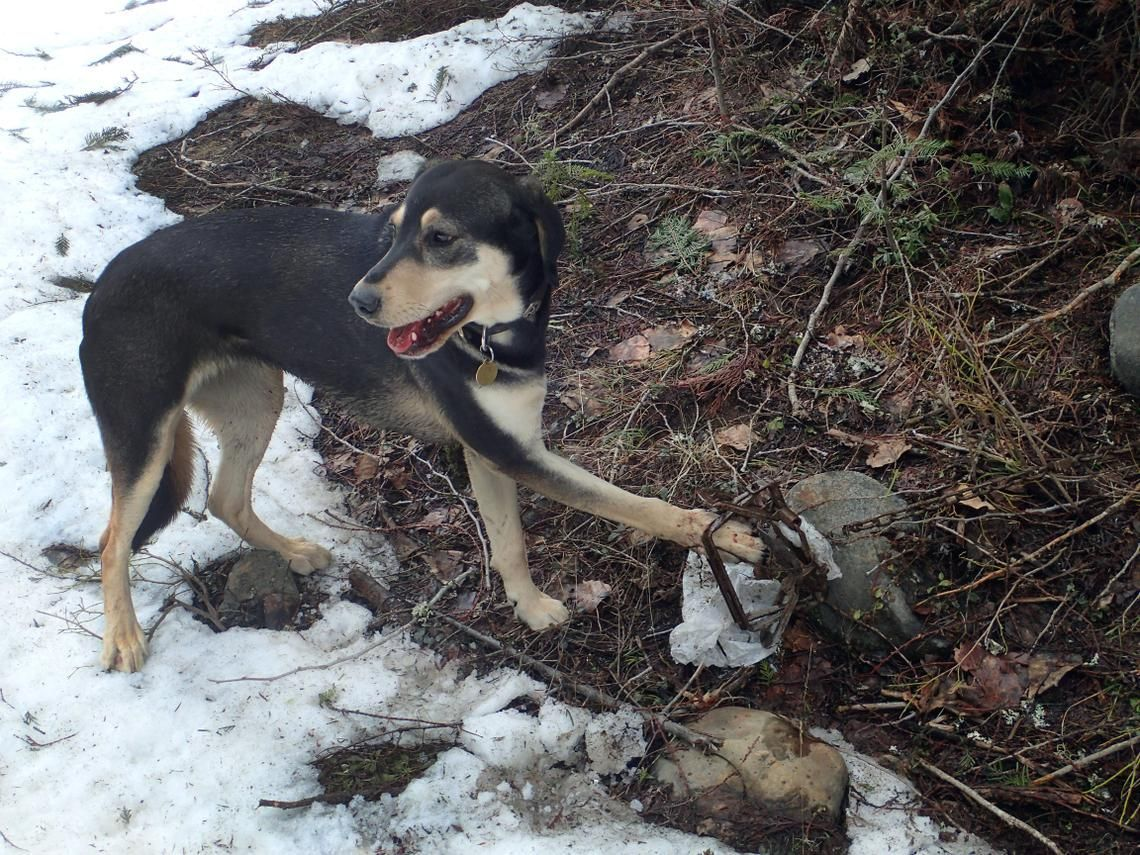Landers Pet Dogs Caught Up In Idaho S Wolf Control Effort