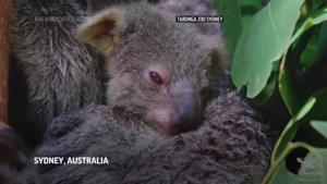 Sydney zoo unveils first baby koala in a year