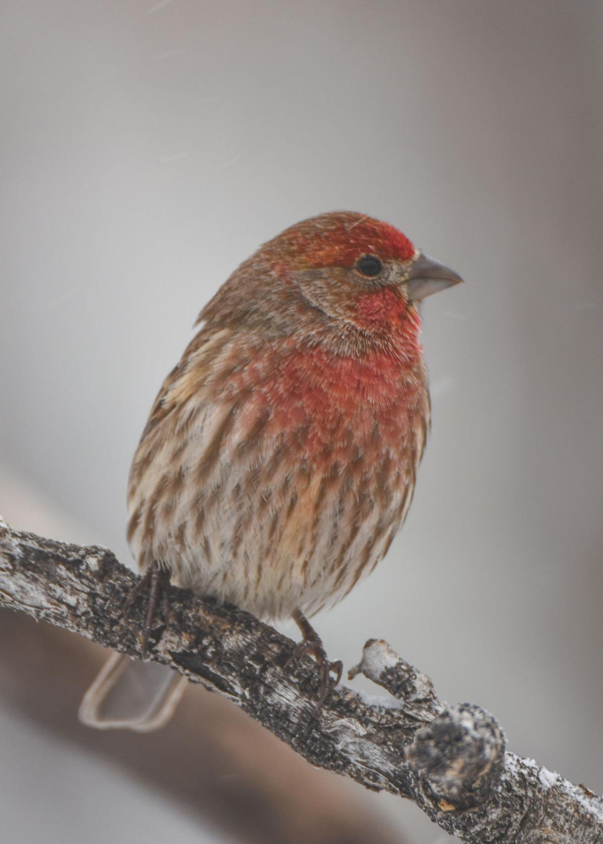 Thomas: House finches a common backyard sight   Outdoors ...