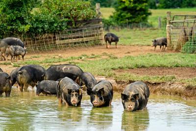 Sustainable pork done right: Regenerative farm to organic butcher