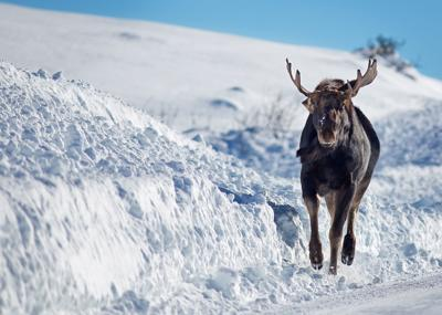 Moose loose on the road