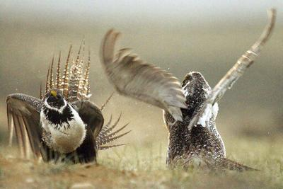 Trump plans would ease protections for sage grouse in West