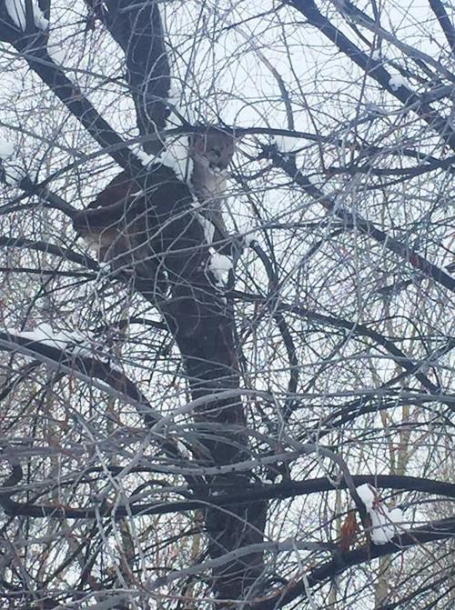 Mountain lion north of Hailey