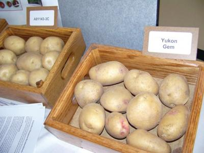 New potato virus strain has industry attention