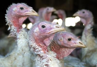 Food And Farm Bird Flu