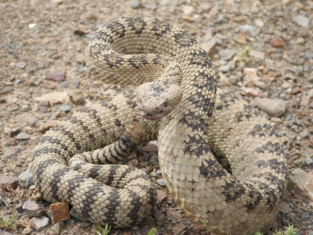 What you should - and shouldn't - do if you run into a rattlesnake