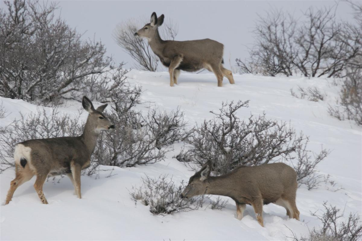 phillips winter tests big game animals but they u0027ve adapted