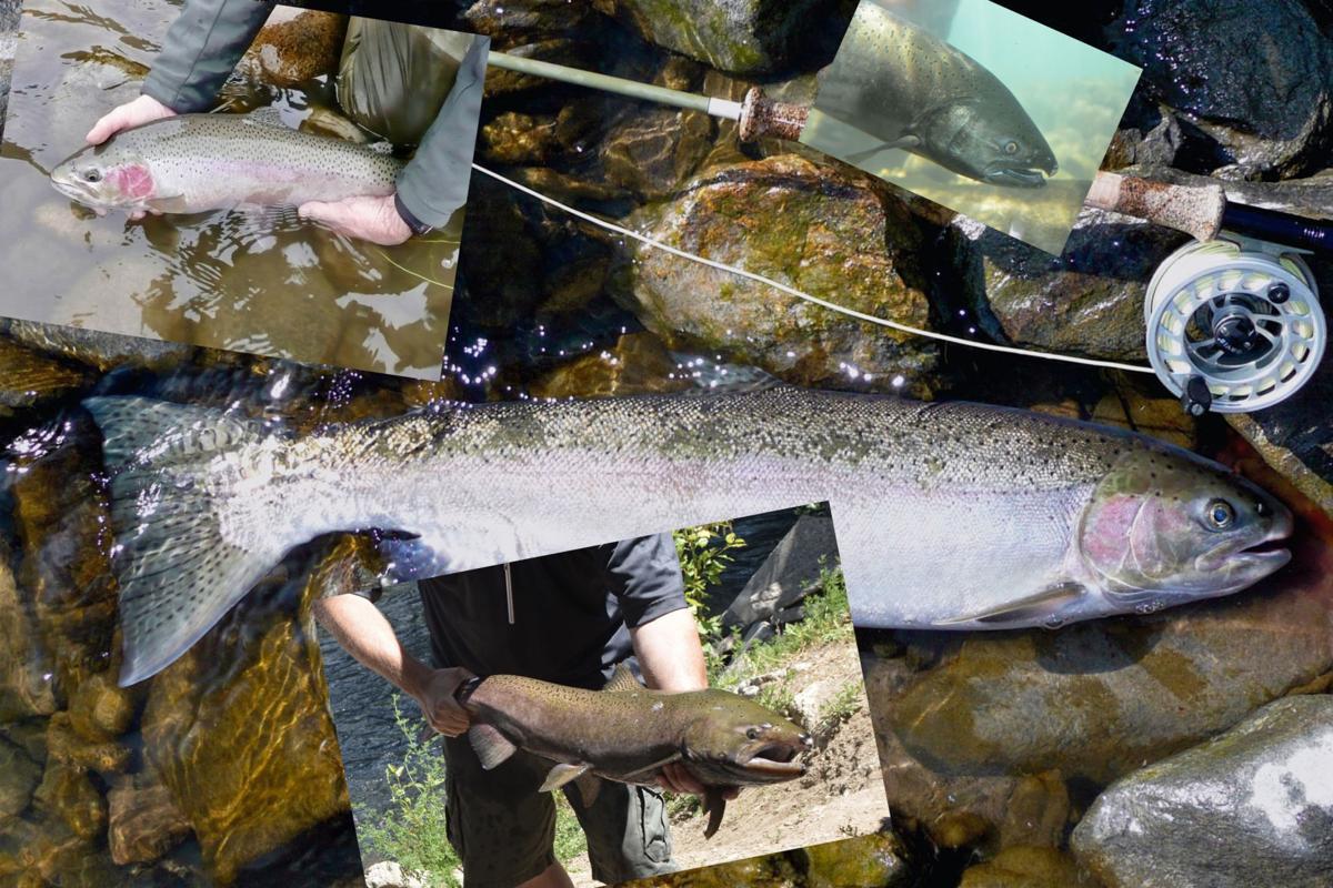 Salmon and Chinook