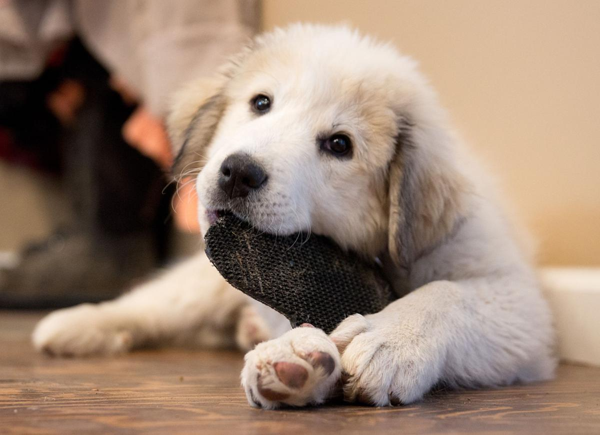 After Social Media Goose Chase Carey Family Gets Purloined Puppies Back Local Magicvalley Com With indeed, you can search millions of jobs online to find the next step in your career. after social media goose chase carey