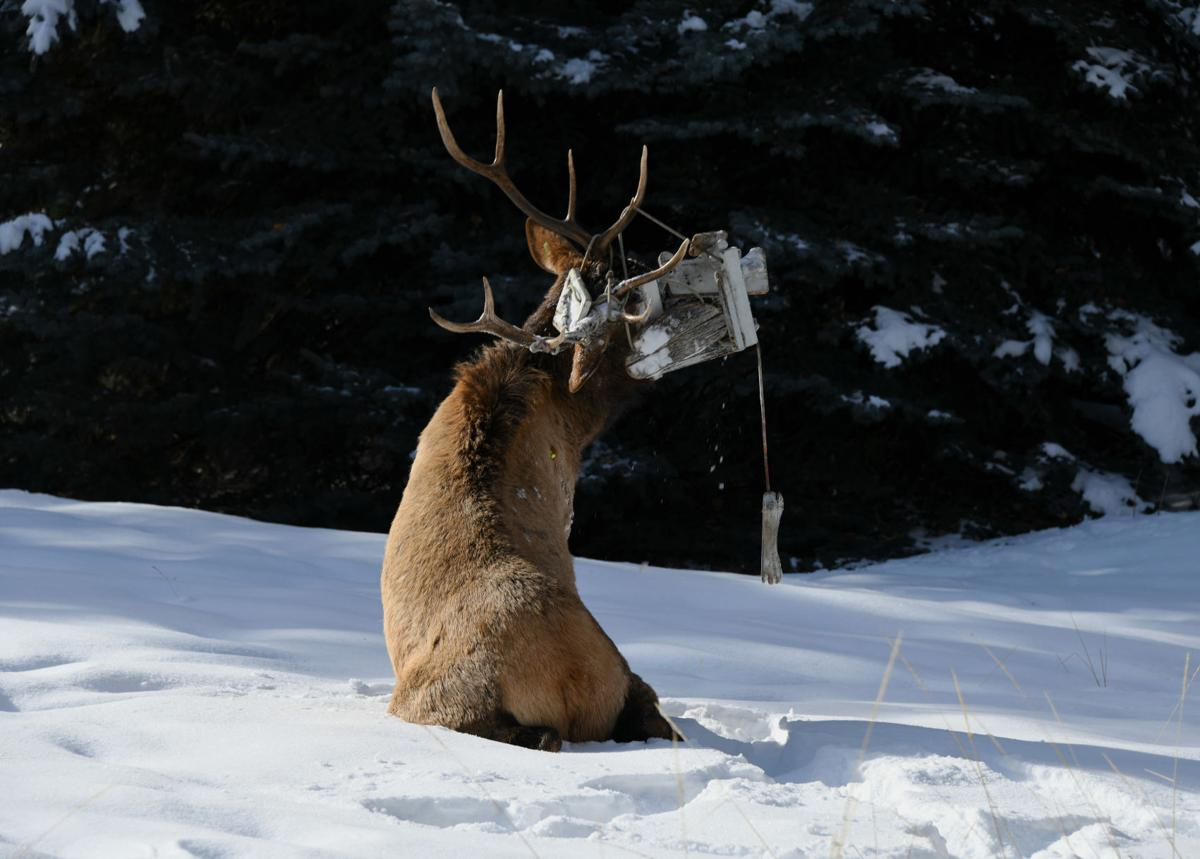 Elk tangled in swing
