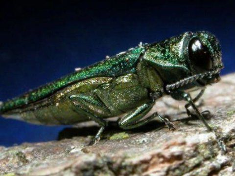 Emerald ash borer infestation spreads to Lafayette and