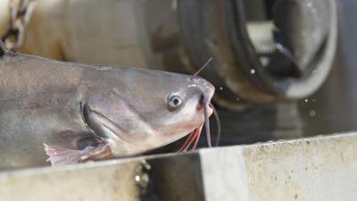 Blue Catfish harvesting, stocking, MaCarthur Park