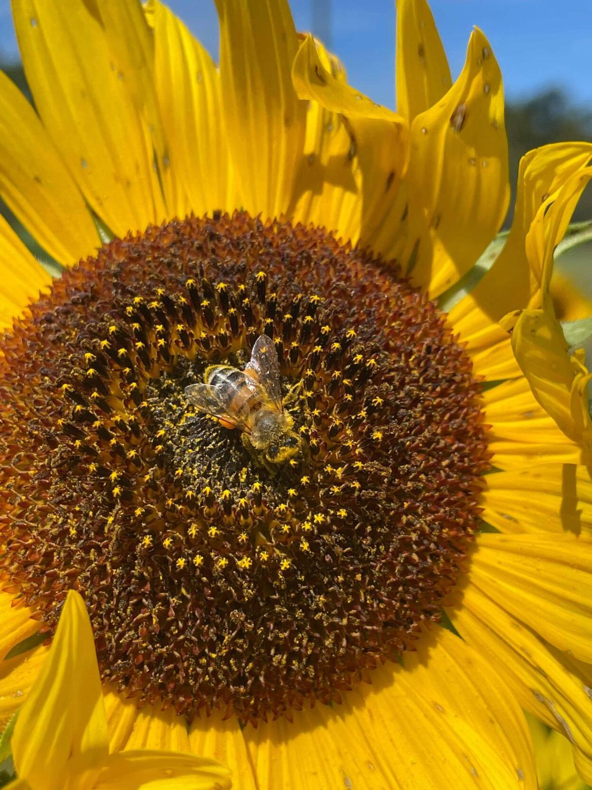 Pollen producing sunflowers are perfect for home gardeners who are planting to support pollinatorsjpg.jpg