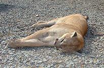 Slain mountain lion