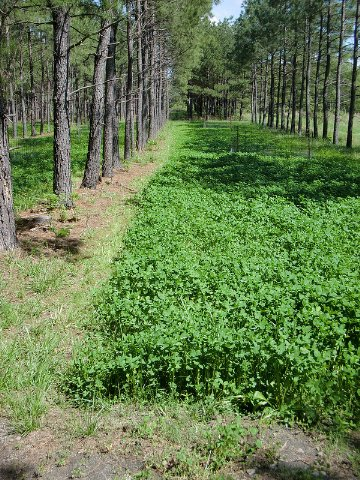 Wooded Areas Benefit From White Clover As Food Plot Crop