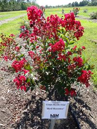 E Myrtle Choices Include New Varieties
