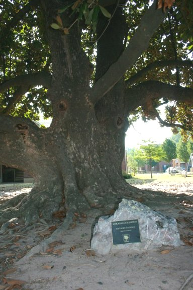 Arkansas Largest Magnolia Tree Is In Texarkana Regional News