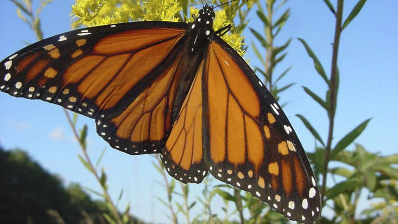Tri city summers may encounter the disappearing of Monarch butterflies