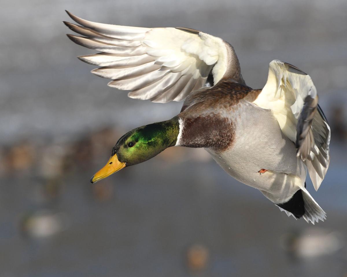 Morrison duck foto2