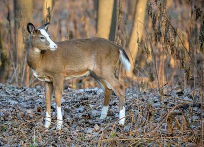 Main deer photo