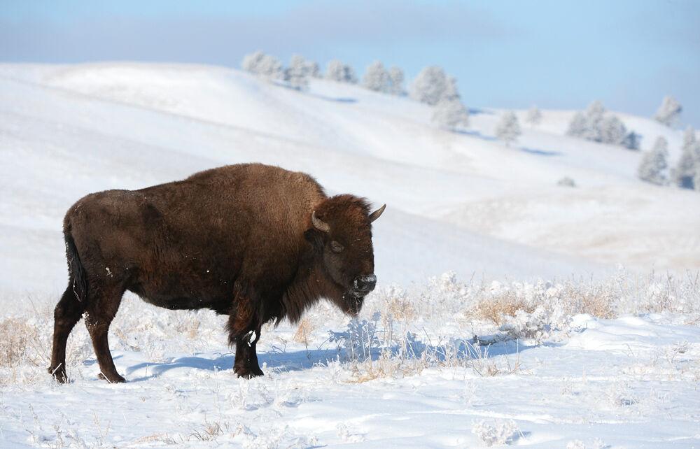 Morrison bison foto 1-17