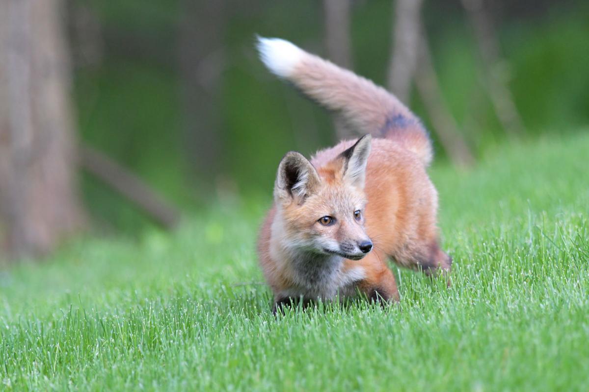 Red fox foto2 5-17
