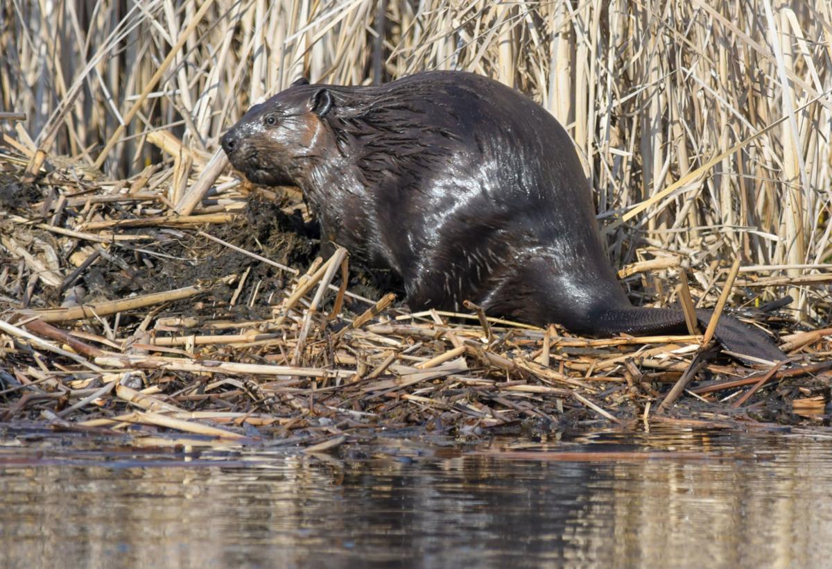 Morrison beaver foto2