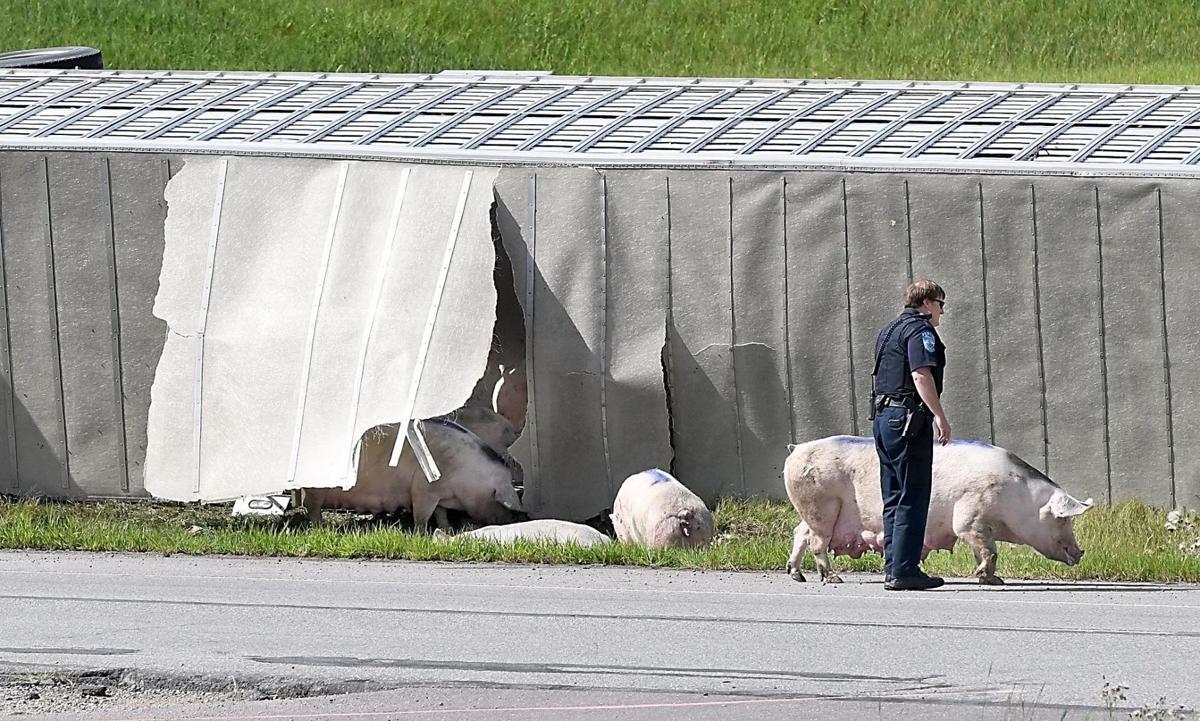Pigs on Highway 169 5