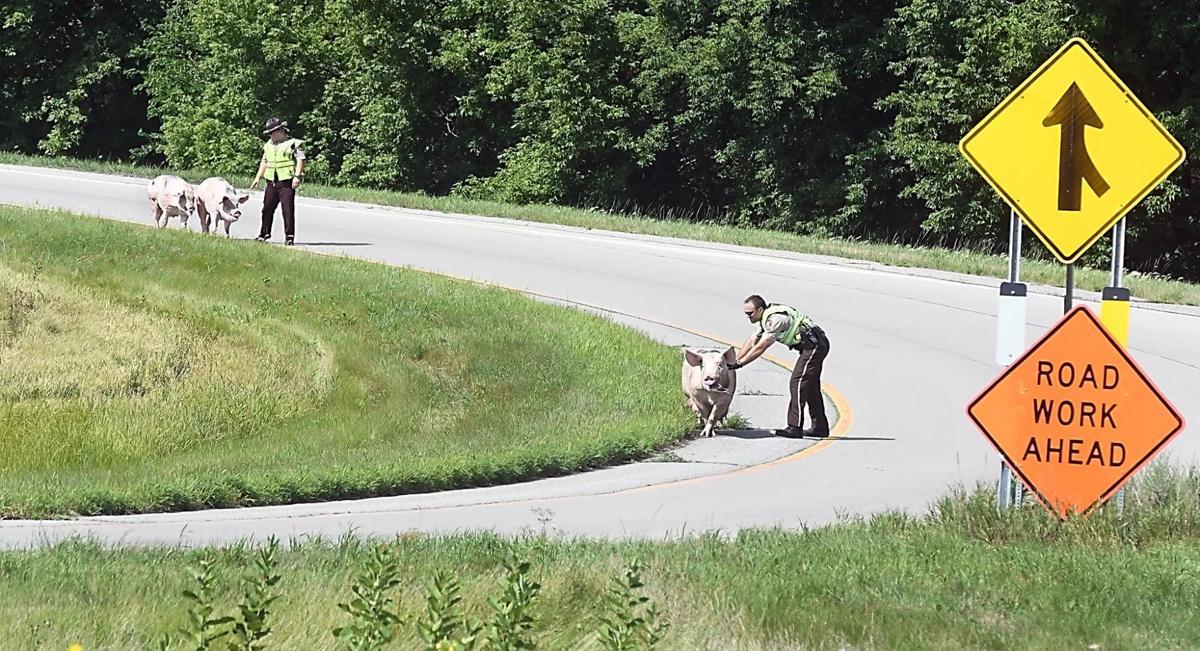 Pigs on Highway 169 2