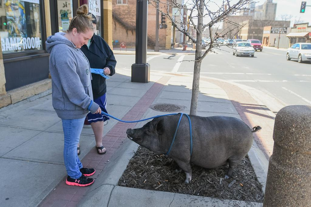 A Pig In The City Mankatoan Looks To Change Local Pet Laws