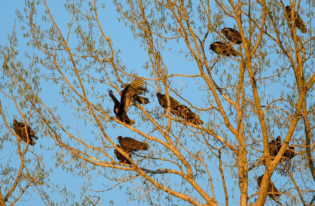 Morrison vulture foto2