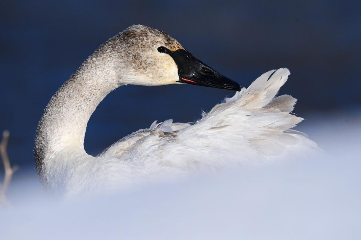 Swans Have Come Back >> Outdoors Trumpeter Swans Have Made Historic Comeback In Minnesota